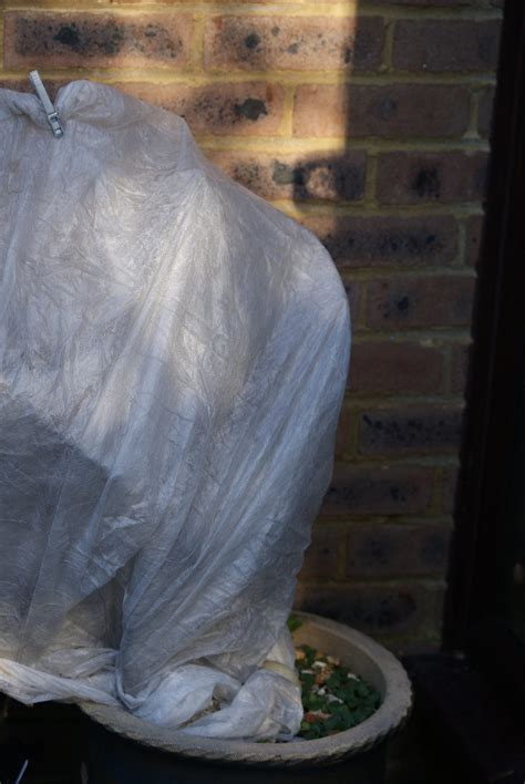 Fig Tree Cover For Winter - How To Wrap Fig Trees Over Winter